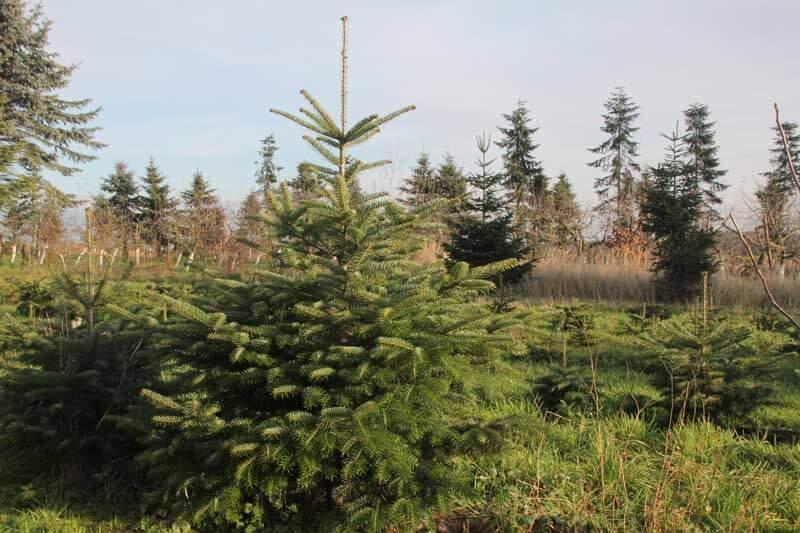 Weihnachtsbaum kaufen gifhorn europ ische weihnachtstraditionen - Weihnachtsbaum kaufen hamburg ...