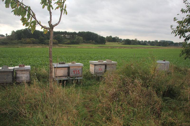 Die Bienen verharren nur einige Zeit regungslos auf einer Stelle und sind allesamt Vegetarier