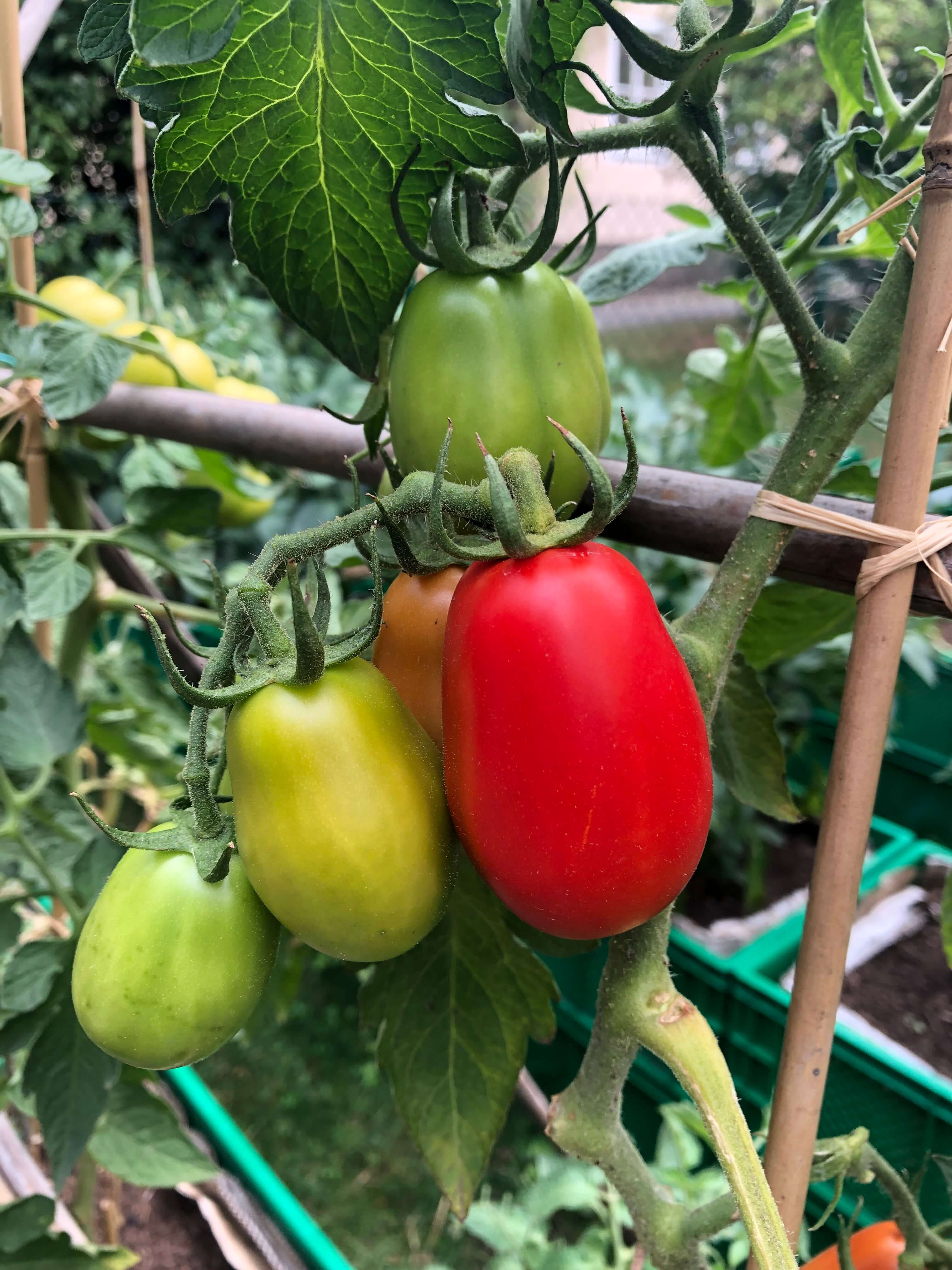 Die ersten Tomaten lassen sich bald ernten / Foto: FLOW WOLF